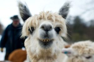43 Ideal Gifts For Llama Lovers